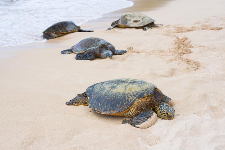 Turtles at the Turtle bay, Oahu island, Hawaii