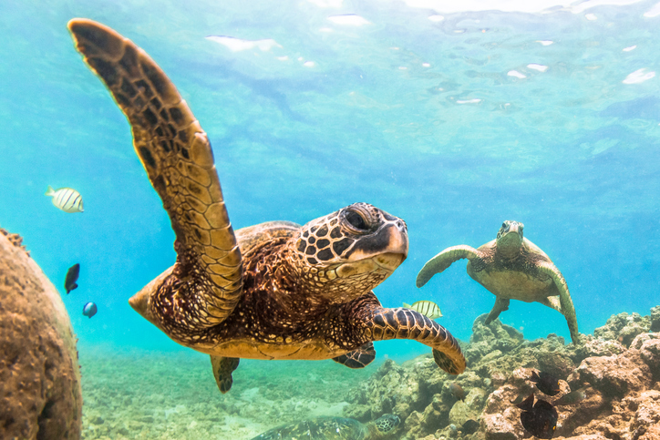 A Hawaiian Green Sea Turtle cruises in the warm waters of the Pacific Ocean of Hawaii